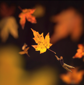 Fiddle Oak - Autumn